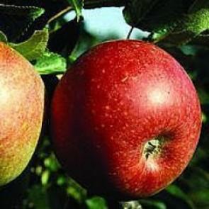 Æble 'Aroma' (Malus domestica 'Aroma'), på svag grundstamme - Dværgtræ på 40 cm stamme