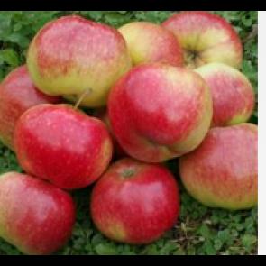 Æble 'Katinka' på kraftig grundstamme - Træ i potte 175-200 cm