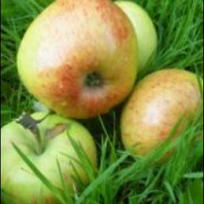 Æble 'Nanna', middelvoksende - 3 års træ i potte 150-200 cm