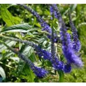 Ærenpris (Veronica spicata 'Nanum Blauteppich') - Staude i 10 x 10 cm potte