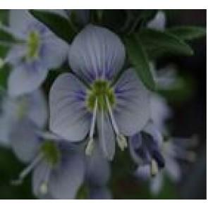 Porcelæns ærenpris (Veronica gentianoides 'Robusta') - Staude i 1 liter potte