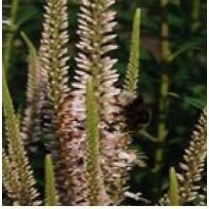Ærenpris (Veronicastrum virginicum 'Roseum') - Staude i 2 liter potte
