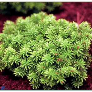Koreagran (Abies koreana 'Cis') - 2 liter potte 15-20 cm