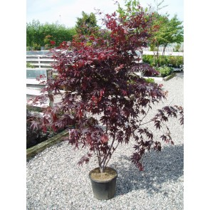 Japansk løn (Acer palmatum 'Bloodgood') XXL SOL 100-125
