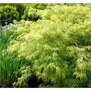 Japansk Grøn dværgløn (Acer palmatum 'Dissectum Viride') - Co 40-50