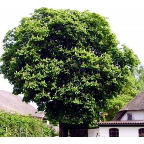 Hestekastanie (Aesculus hippocastanum) - Træ i potte 150-175 cm