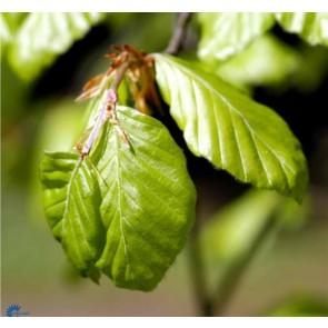 Almindelig bøg (Fagus sylvatica) - Træ i potte 175-200 cm