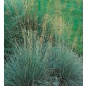 Alpehavre/ Blåhavre (Helictotrichon sempervirens (Avena)) - Græs i 1 liter potte - Sælges kun i pakke á 3 stk.
