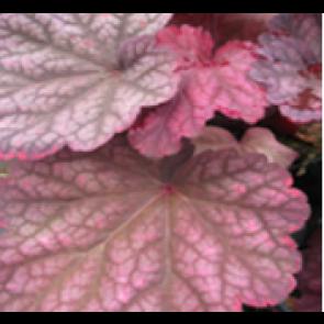 3 stk  Alunrod (Heuchera hybr. 'Berry Smothies'® ) - Staude i 1 liter potte