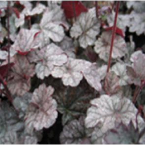 Alunrod (Heuchera hybr. 'Cinnabar Silver'®  ) - Staude i 1 liter potte