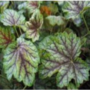 Alunrod (Heuchera hybr. 'Green Spice'® ) - Staude i 1 liter potte