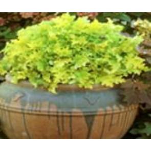 Alunrod (Heuchera hybr. 'Lime Marmalade'®  ) - Staude i 1 liter potte - Sælges kun i pakke á 3 stk.