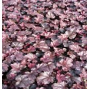 3 stk  Alunrod (Heuchera hybr. 'Obsidian'® ) - Staude i 1 liter potte