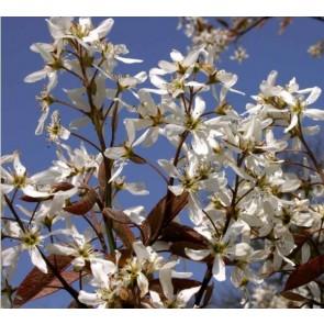 Bærmispel træ (Amelanchier arb. 'Robin Hill') -  Træ i potte 175-200 cm