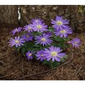 Balkan-anemone (Anemone blanda. 'Blue Shades') - Staude i 10 x 10 cm potte