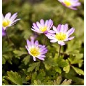 Balkan-anemone (Anemone blanda 'Charmer') - Staude i 10 x 10 cm potte - Sælges kun i pakke á 3 stk.