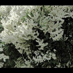 Arkitektens trøst (Fallopia aubertii) - 2 liter potte 60 cm