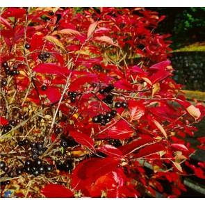 Surbær (Aronia melanocarpa) - 3 års planter 50 - 80 cm