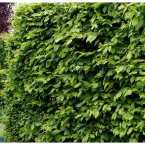 Almindelig avnbøg (Carpinus betulus) - Barrodet hæk 60-100 cm. 3 års