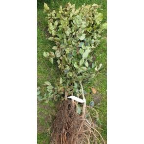 Almindelig bøg (Fagus sylvatica) -3 gange omplantet 50-80 cm.