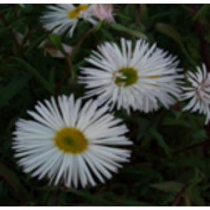 Bakkestjerne (Erigeron hybr. 'Sommerneuschnee') - Staude i 1 liter potte