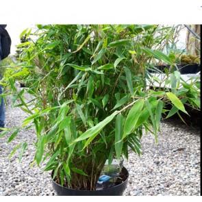 2 stk Bambus (Fargesia murielae 'Bimbo') 40 - 50 cm i10 ltr. potte