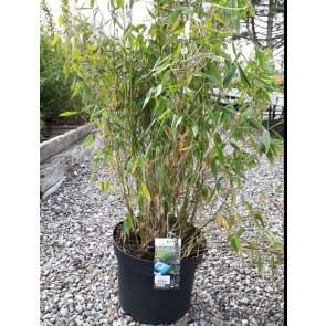 Bambus (Fargesia murielae 'Simba') - 40 - 50 cm i 10 ltr. potte