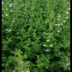 Bjergmynte (Calamintha nepeta ssp. nepeta) - Staude i 10 x 10 cm potte