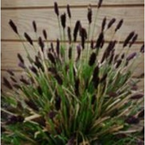 Blåaks (Sesleria heuffleriana) - Græs i 10 x 10 cm  potte