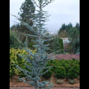 Blå Atlasceder (Cedrus libani 'Atlantica Glauca') - 5 liter potte 60-80 cm