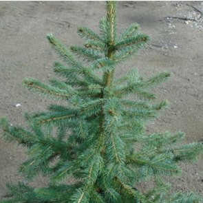 Blågran (Picea pungens 'Glauca Misty Blue') - 5 liter potte 40-50 cm