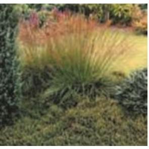Blåtop (Molinia caerulae 'Dauerstrahl') - Græs i 1 liter potte