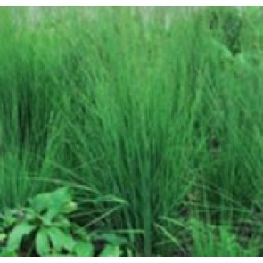 Blåtop (Molinia caerulae 'Heidebraut') - Græs i 1 liter potte