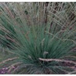 Blåtop (Molinia caerulae ' Moorhexe') - Græs i 1 liter potte - Sælges kun i pakke á 3 stk.