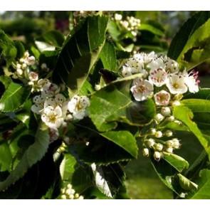 Blommebladet (Glansbladet) tjørn (Crataegus prunifolia) - Træ i potte 150-175 cm
