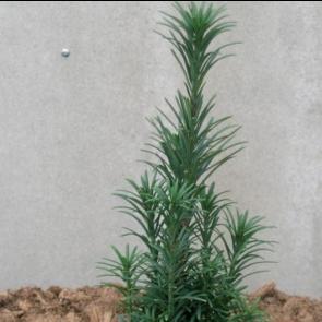 Blommetaks (Cephalotaxus harringtonia 'Fastigiata') - 5 liter potte 50-60 cm