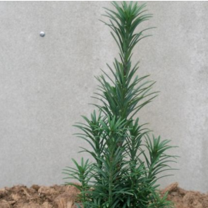 Blommetaks (Cephalotaxus harringtonia 'Fastigiata') - 2 liter potte 30-40 cm