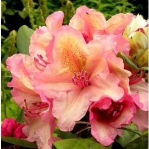 Brasilia' (Rhododendron 'Brasilia') - Buske i 5 liters potte 30-40 cm