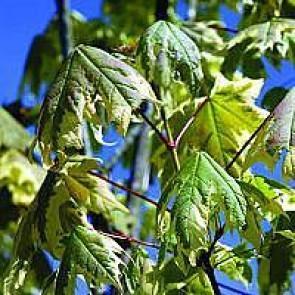 Brogetbladet spidsløn (Acer platanoides 'Drummondii') - Træ i potte 175-200 cm