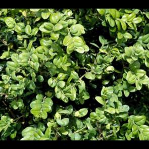 Buksbom (Buxus sempervirens 'Rotundifolia') - Busk i potte 30-40 cm