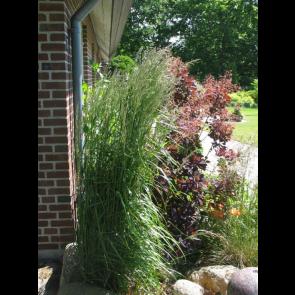 Havesandrør - Rørhvene (Calamagrostis acutiflora 'Karl Foerster') - Græs i 1 liter potte