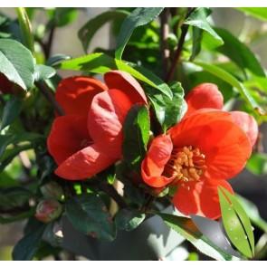 Rød Japankvæde (Chaenomeles japonicm Crimson and Gold') - Buske i 5 liter potte