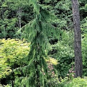 Hængecypres  'Pendula' (Chamaecyparis nootkatensis 'Pendula')  - 5 liter potte 60-80 cm