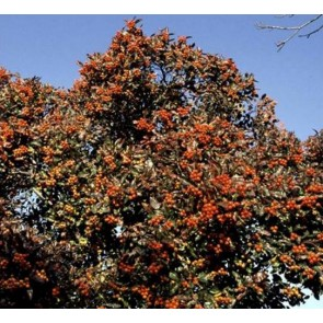 Glansbladet tjørn (Crataegus lavallei) - Træ i potte 150-175 cm