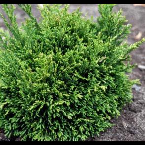 Cypres (Chamaecyparis lawsoniana 'Green Globe') - 3,7 liter potte 20-25 cm