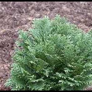 Cypres (Chamaecyparis lawsoniana 'Minima Glauca') - 2 liter potte 25-30 cm