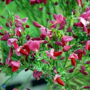 Purpur gyvel (Cytisus scop. 'Boskoop Ruby') - Buske i 3,5 liter potte