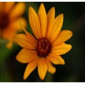 Dagøje (Heliopsis helianth. scabra 'Summer Nights') - Staude i 1 liter potte - Sælges kun i pakke á 3 stk.