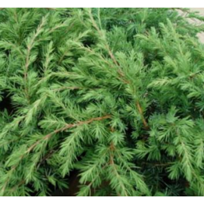 Enebær (Juniperus conferta 'Schlager') - 2 liter potte 20-25 cm
