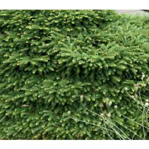 Dværggran - Fugleredegran (Picea abies 'Nidiformis') - 2 liter potte 15-20 cm